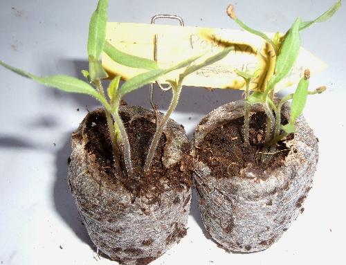 Coltivare l 39 orto calendario lunare tutte le semine nell - Semina pomodori luna ...